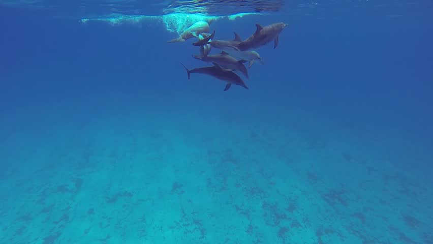 Beautiful full HD footage of Atlantic spotted dolphins (Stenella frontalis) in the Bahama's - HD stock video clip